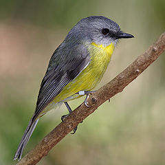 Eastern Yellow Robin (photo credit: Wikipedia)