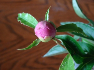 summer is getting ready to burst open like this peony