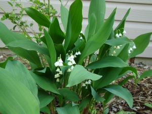 a hardy plant, Lily of the Valley