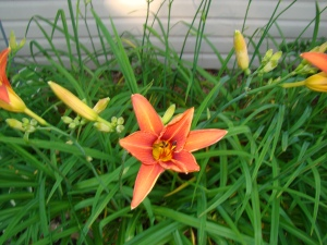A tiger lily bloom starting its only day of existence